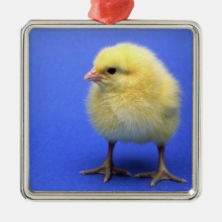 Baby chicken. Silver-Colored square decoration