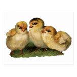 baby-chicks-3.jpg postcard