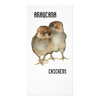 Baby chicks araucana chickens ornithology birds picture card