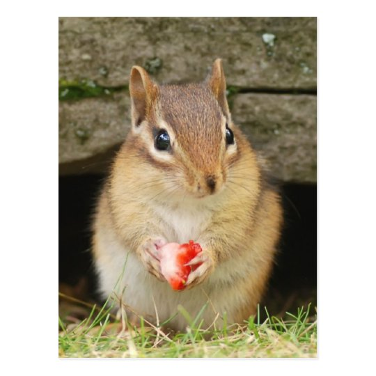 baby chipmunk with strawberry postcard