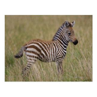 Baby Common Zebra, Equus burchelli Postcard