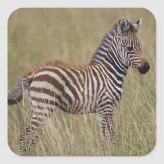 Baby Common Zebra, Equus burchelli Square Sticker