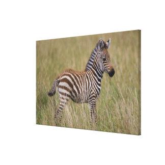 Baby Common Zebra, Equus burchelli Stretched Canvas Print