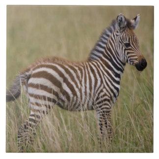 Baby Common Zebra, Equus burchelli Large Square Tile