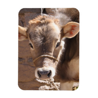 Baby Cow - Brown Baby Calf Close Up Face Vinyl Magnets
