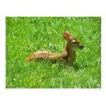 Baby Deer Postcards