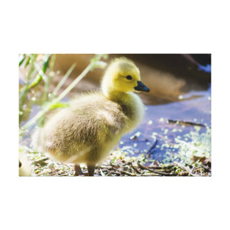 Baby Duck Stretched Canvas Prints