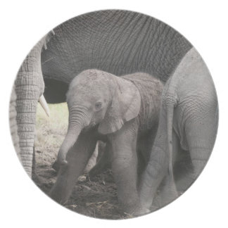Baby elephant is standing and wobbly plate
