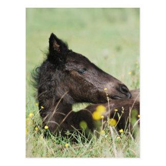 Baby foal lying in the meadow postcard