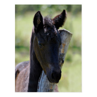 Baby foal post cards