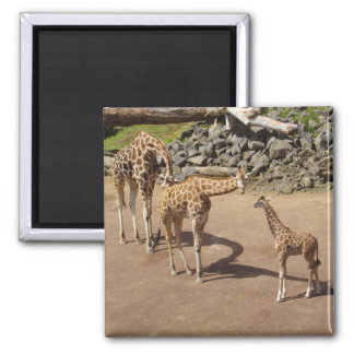 Baby Giraffe and Giraffe Family Square Magnet