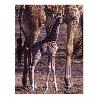 Baby giraffe and mother, Tanzania Postcard