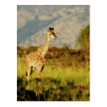 Baby Giraffe wildlife postcards