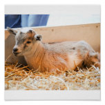 Baby Goat Poster