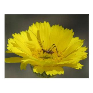 Baby Grasshopper Postcard