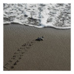 Baby Green Sea Turtle Poster