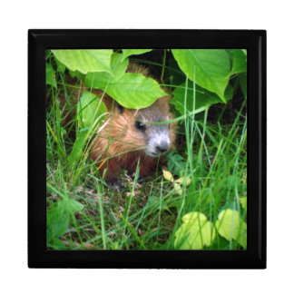 Baby Groundhog Marmotte Marmot Spring In Gatineau Gift Box