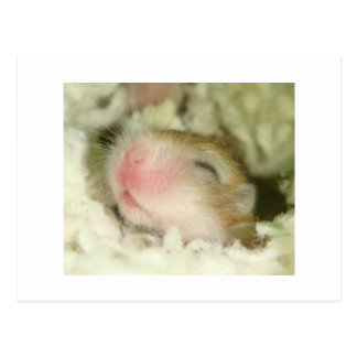 Baby Hamster Postcard