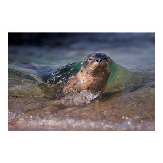 Baby Harbor Seal Poster