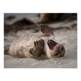 Baby Harbor Seal Yawning Poster