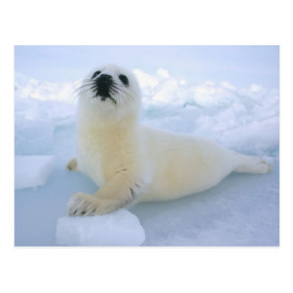 Baby Harp Seal Postcard