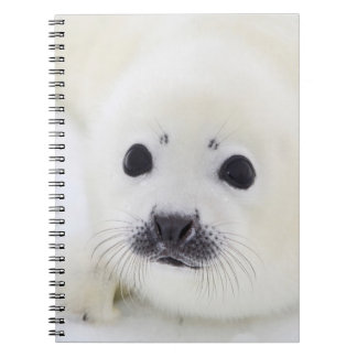 Baby harp seal pup on ice of the White Sea Notebook