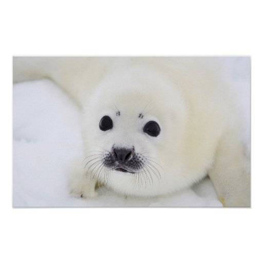 Baby harp seal pup on ice of the White Sea Print