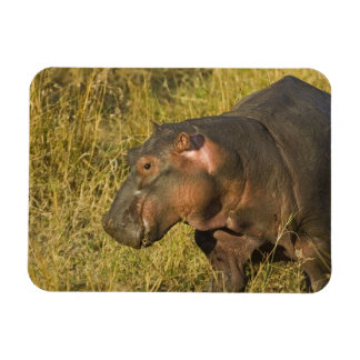 Baby Hippo out of water away from adults along Magnet