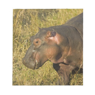 Baby Hippo out of water away from adults along Notepad