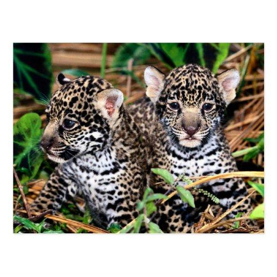 Baby Jaguar Cubs Postcard