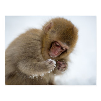Baby Japanese Macaque | Snow Monkey Postcard