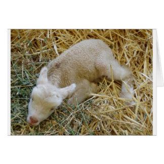 Baby lamb sleeping - Card