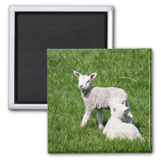 Baby Lambs Square Magnet