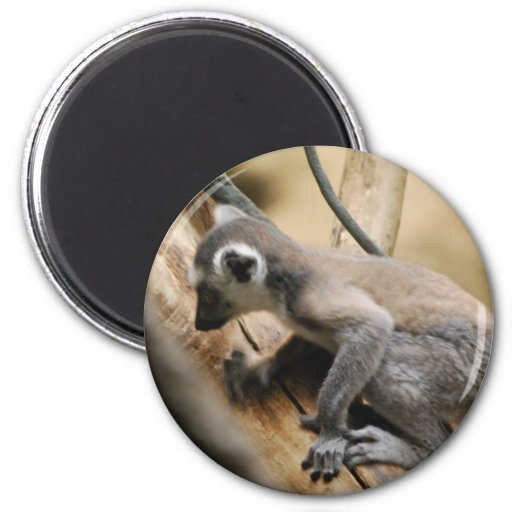 Baby Lemur  Magnet Magnets