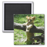 Baby Lion Cub On Branch Square Magnet