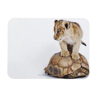 Baby lion standing on tortoise, white background rectangular photo magnet