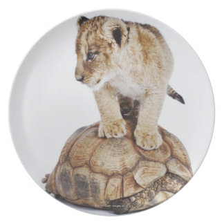 Baby lion standing on tortoise, white background plate