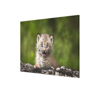 Baby Lynx  Looking Over A Fallen Tree Canvas Print