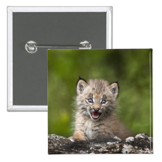 Baby Lynx (Lynx Canadensis) Looking Over A 15 Cm Square Badge