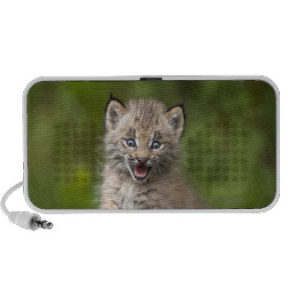Baby Lynx (Lynx Canadensis) Looking Over A Speaker