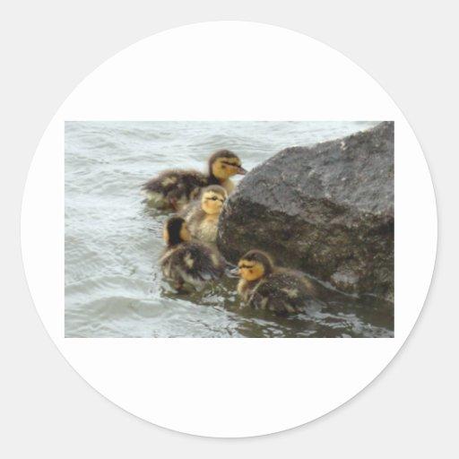 Baby Mallards Swimming around a Rock Sticker