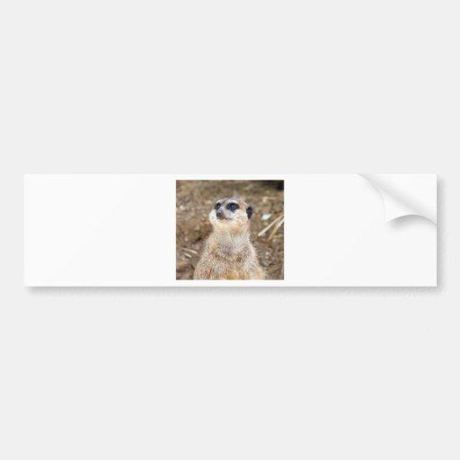 Baby meerkat bumper stickers