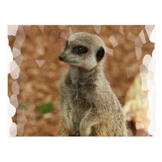 Baby Meerkat Postcard
