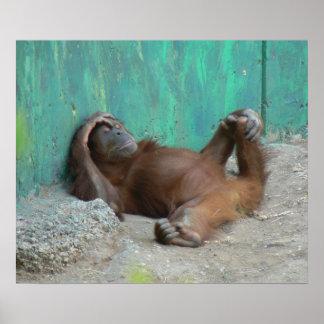 Baby orangutan resting posters