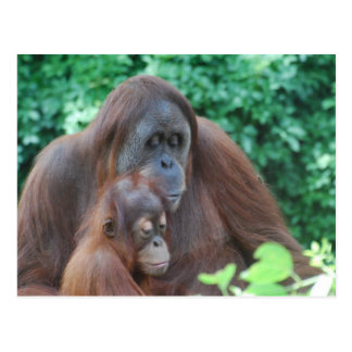 Baby Orangutan with Mother  Postcard