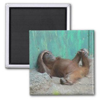 Baby orangutang resting magnet