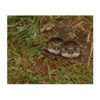 Baby Owls Postcard