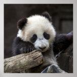 Baby panda climb a tree poster
