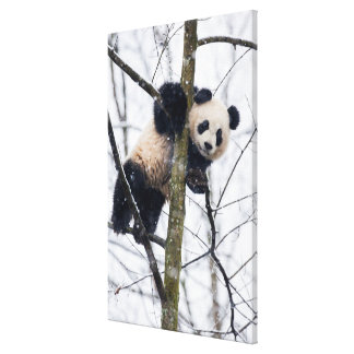 Baby Panda in Tree Canvas Print