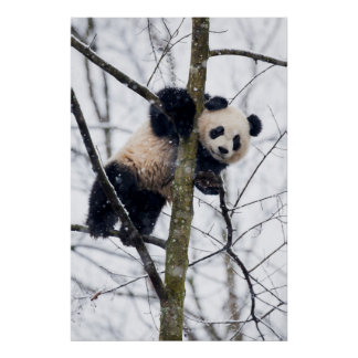 Baby Panda in Tree Poster